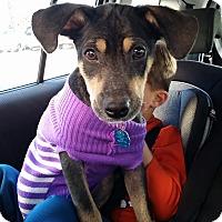Adopt A Pet :: Sweet Susie Q - Pflugerville, TX
