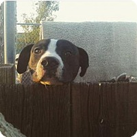 Adopt A Pet :: Jam - Apple Valley, CA