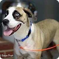 Adopt A Pet :: Layla - Bedford, VA