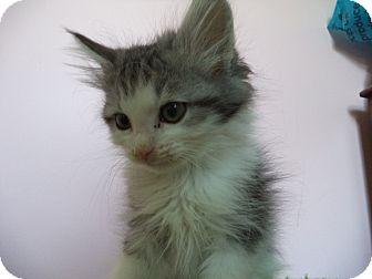 Domestic Longhair Kitten for adoption in St. Louis, Missouri - Oswald