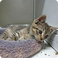 Adopt A Pet :: Ollie - Massapequa, NY