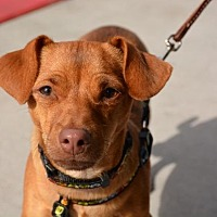 Chihuahua/Dachshund Mix Dog for adoption in Phoenix, Arizona - Justice
