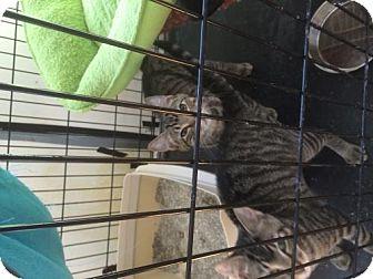 Domestic Shorthair Kitten for adoption in Wakefield, Massachusetts - Scott Hamilton