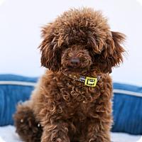 Adopt A Pet :: Brownie - Auburn, CA