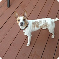 Jack Russell Terrier Mix Dog for adoption in Plainfield, Illinois - Tracker