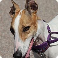 Greyhound Dog for adoption in Tucson, Arizona - Hilda