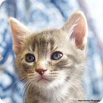 Domestic Shorthair Kitten for adoption in Nashville, Tennessee - Ruger
