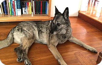 German Shepherd Dog Dog for adoption in Petaluma, California - Hannah