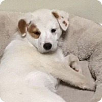 Adopt A Pet :: Patches - Media, PA