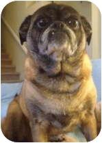 Pug Dog for adoption in Strasburg, Colorado - Emily