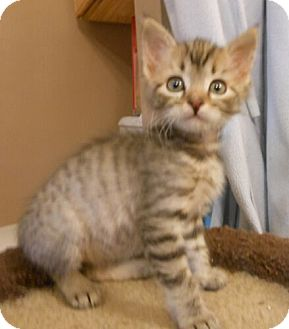 Domestic Shorthair Kitten for adoption in Reston, Virginia - Jill