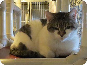 Domestic Shorthair Cat for adoption in Geneseo, Illinois - Princess