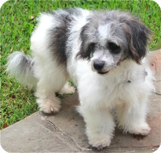Poodle (Miniature)/Tibetan Terrier Mix Dog for adoption in Norwalk, Connecticut - Dewey - adoption pending