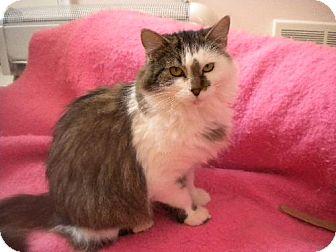 Domestic Mediumhair Cat for adoption in St. Paul, Minnesota - Chipmunk