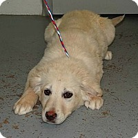 Adopt A Pet :: *Ivory - PENDING - Westport, CT