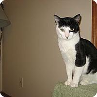 Adopt A Pet :: Snowball - Portland, ME