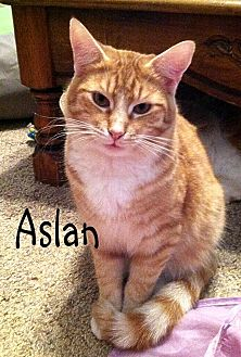 Domestic Shorthair Cat for adoption in Wichita Falls, Texas - Aslan
