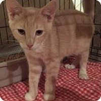 Adopt A Pet :: Gus - La Canada Flintridge, CA