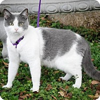 American Shorthair Cat for adoption in Dublin, Virginia - Scrappy