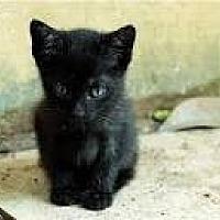 Bombay Kitten for adoption in Sunny Isles Beach, Florida - Dee