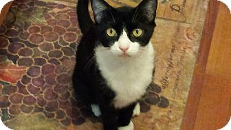 Domestic Shorthair Cat for adoption in Tampa, Florida - Max