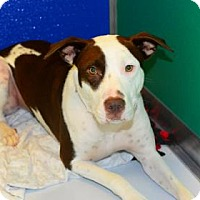 Adopt A Pet :: Pancake - Suwanee, GA