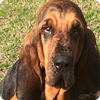 Adopt A Pet :: June Bug - Fayetteville, AR