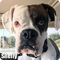 Adopt A Pet :: Shelly - Encino, CA