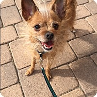 Terrier (Unknown Type, Small)/Chihuahua Mix Dog for adoption in LA, OC, SD, California - Chickpea the Cherrier