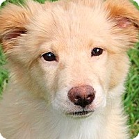 Adopt A Pet :: BRIE(OUR GOLDEN GIRL!!) - Wakefield, RI