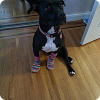 American Pit Bull Terrier/Labrador Retriever Mix Dog for adoption in Brooklyn, New York - Presley