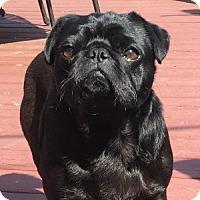 Adopt A Pet :: Shadow - Farmington, MI
