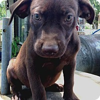 Labrador Retriever Mix Puppy for adoption in Allentown, Pennsylvania - Truman