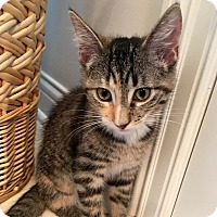 Domestic Shorthair Kitten for adoption in Lombard, Illinois - Amber