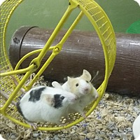 Adopt A Pet :: Pearl and Quartz - Germantown, OH