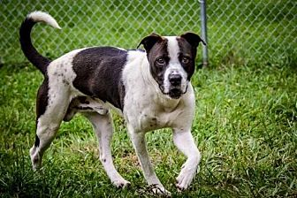 American Pit Bull Terrier Mix Dog for adoption in Batavia, Ohio - Morpheus