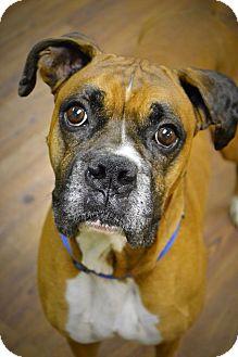 Boxer Mix Dog for adoption in Lake Odessa, Michigan - Goliath