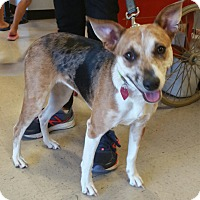 Hound (Unknown Type)/Catahoula Leopard Dog Mix Dog for adoption in Houston, Texas - Katy