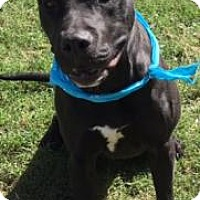 Pit Bull Terrier Mix Dog for adoption in Greensboro, North Carolina - Lex