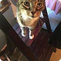Adopt A Pet :: Addison - Virginia Beach, VA