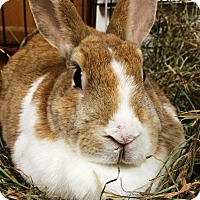 Adopt A Pet :: Nutmeg - Edinburg, PA