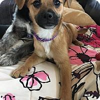 Adopt A Pet :: Tilly - Fort Wayne, IN