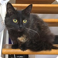 Adopt A Pet :: Amy - Fluffy, sweet petite teen Tortie - Brooklyn, NY