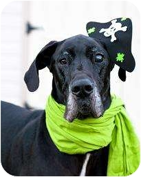 Great Dane Dog for adoption in Virginia Beach, Virginia - Zeus