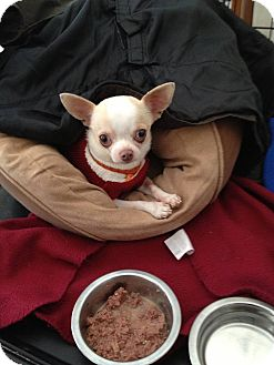 Chihuahua Mix Dog for adoption in Rockaway, New Jersey - Apollo