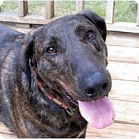 Adopt A Pet :: Spectacular Shelby! - Greenville, SC