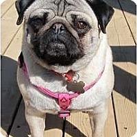 Adopt A Pet :: Ping PIng - Avondale, PA