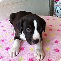 Adopt A Pet :: Waylon - Pompano Beach, FL