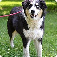 Adopt A Pet :: Cheyenne - Springfield, IL