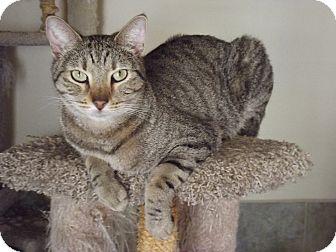 Domestic Shorthair Cat for adoption in Mesa, Arizona - Tobiath